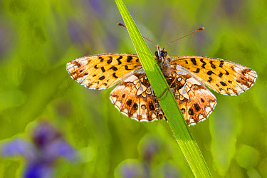 Weaver's Fritillary (Boloria dia) adult, resting on grass, Col de Calzan, Ariege Pyrenees, Midi-Pyrenees, France, May  -  Richard Becker/ FLPA