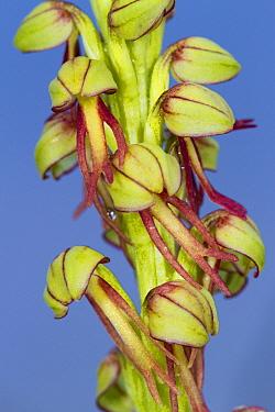 Man Orchid (Orchis anthropophora) close-up of flowers, Causse de Gramat, Massif Central, Lot Region, France, April  -  Richard Becker/ FLPA