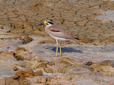 Great Thick-knee (Esacus recurvirostris) adult, standing on dry mud, Sri Lanka, February  -  Michael Gore/ FLPA