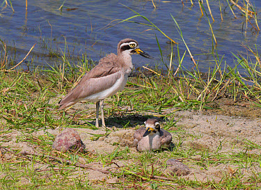 Great Thick-knee (Esacus recurvirostris) adult pair, male standing and female resting at edge of water, Sri Lanka, February  -  Michael Gore/ FLPA