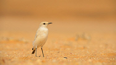 Tractrac Chat (Cercomela tractrac) adult, standing on sand, Namib Desert, Namibia, February  -  Fabio Pupin/ FLPA
