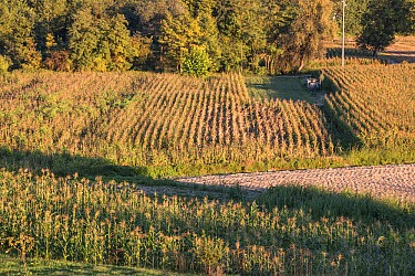 Small fields of maize being grown as animal feed in Northern Italy  -  David Hosking/ FLPA