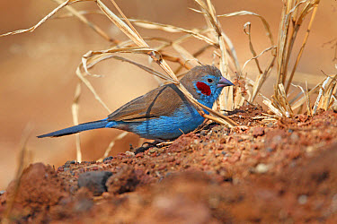 Red-cheeked Cordon-bleu (Uraeginthus bengalus) adult male, foraging on ground, Serengeti National Park, Tanzania, July  -  Martin Hale/ FLPA
