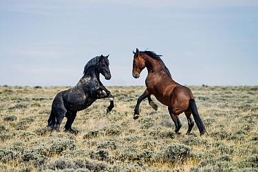 Horse, Mustang, two stallions, fighting on high desert, Great Divide Basin, Red Desert, Wyoming, U.S.A., August  -  Mark Newman/ FLPA