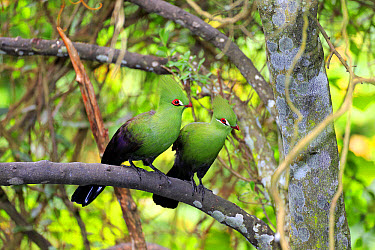 Guinea Turaco (Tauraco persa) adult pair, perched on branch (captive)  -  Jurgen and Christine Sohns/ FLPA
