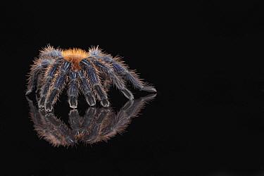 Greenbottle Blue Tarantula (Chromatopelma cyaneopubescens) adult, standing on reflective surface (captive)  -  Paul Miguel/ FLPA