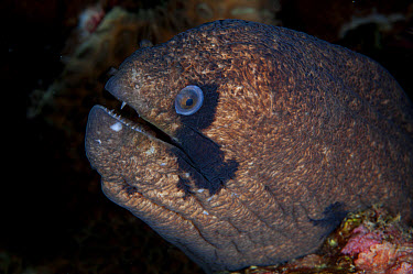 Blackcheek Moray (Gymnothorax breedeni) adult, close-up of head, Christmas Island, Australia, November  -  Colin Marshall/ FLPA