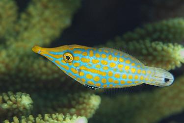 Longnose Filefish (Oxymonacanthus longirostris) adult, Tanjung Nukae, Wetar Island, Barat Daya Islands, Lesser Sunda Islands, Maluku Province, Indonesia, October  -  Colin Marshall/ FLPA
