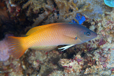 Twotone Wrasse (Halichoeres prosopeion) adult, Uhak Reef, Wetar Island, Barat Daya Islands, Lesser Sunda Islands, Maluku Province, Indonesia, October  -  Colin Marshall/ FLPA