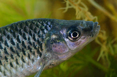 Topmouth Gudgeon (Pseudorasbora parva) introduced invasive species, adult, close-up of head, in tank, Nottingham, Nottinghamshire, England, September  -  Jack Perks/ FLPA