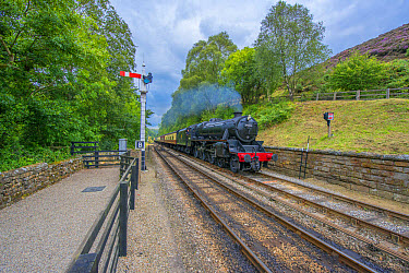 Steam train and carriages, travelling on heritage railway from Pickering to Goathland, North Yorkshire Moors Railway, North Yorkshire, England, August  -  Mike Powles/ FLPA