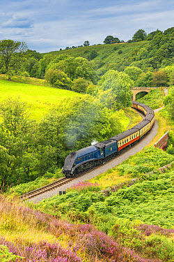 Sir Nigel Gresley' steam train and carriages, travelling through moorland from Pickering to Goathland, North Yorkshire Moors Railway, North Yorkshire, England, August  -  Mike Powles/ FLPA