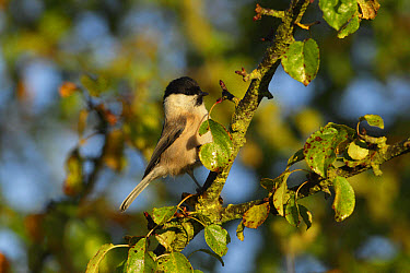 Willow Tit (Parus montanus) adult, perched on Wild Crabapple (Malus sylvestris) twig, West Yorkshire, England, October  -  Paul Miguel/ FLPA