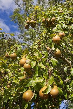 Common Pear (Pyrus communis) 'Conference', fruit growing on tree, England, October  -  Angela Hampton/ FLPA