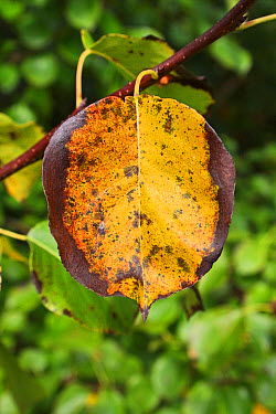 Wild Pear (Pyrus pyraster) close-up of leaf in autumn colour, growing in woodland, Vicarage Plantation, Mendlesham, Suffolk, England, October  -  Marcus Webb/ FLPA