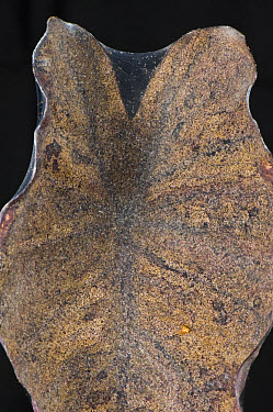 Two-spotted or red spider mite,Tetranychus urticae, damage and webbing on leaves of ornamental house plant Colocasia esculenta  -  Nigel Cattlin/ FLPA