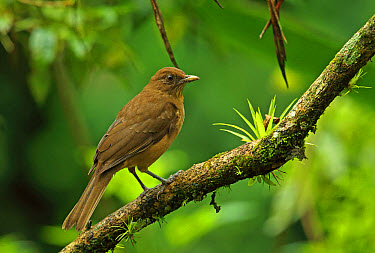 Clay-coloured Robin (Turdus grayi casius) adult, perched on branch, Canopy Lodge, El Valle, Panama, October  -  Neil Bowman/ FLPA