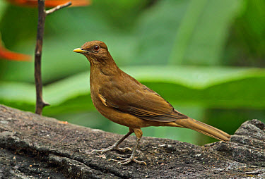 Clay-coloured Robin (Turdus grayi casius) adult, standing on log, Canopy Lodge, El Valle, Panama, October  -  Neil Bowman/ FLPA