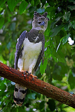 Harpy Eagle (Harpia harpyja) adult female, perched on branch, reintroduction program, Panama, November  -  Neil Bowman/ FLPA