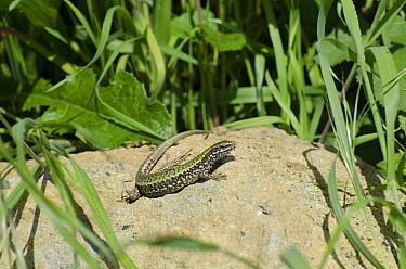 Italian Wall Lizard (Podarcis sicula) introduced species, adult, basking on rock, Folkestone, Kent, England, May  -  Jack Perks/ FLPA