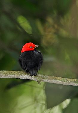 Red-capped Manakin (Pipra mentalis ignifera) adult male, perched on twig, Pipeline Road, Panama, November  -  Neil Bowman/ FLPA