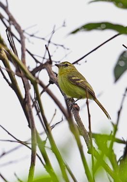 Yellow Tyrannulet (Capsiempis flaveola semiflava) adult, perched on twig, Rio Indio, Panama, October  -  Neil Bowman/ FLPA