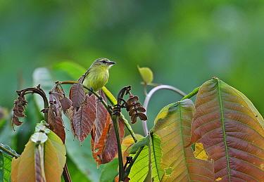 Yellow Tyrannulet (Capsiempis flaveola semiflava) adult, perched on leaf stem in treetop, Rio Indio, Panama, October  -  Neil Bowman/ FLPA