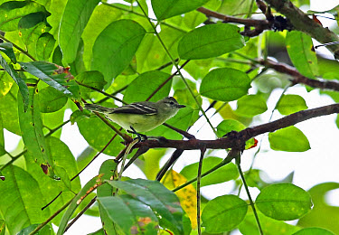 Southern Beardless Tyrannulet (Camptostoma obsoletum flaviventre) adult, perched on twig, Chagres River, Panama, November  -  Neil Bowman/ FLPA