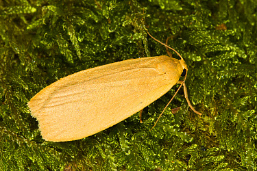 Dingy Footman (Collita griseola) adult, resting on moss, Powys, Wales, July  -  Richard Becker/ FLPA