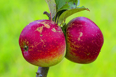 Cultivated Apple (Malus domestica) 'Worcester Pearmain', close-up of fruit, on tree in organic orchard, Powys, Wales, August  -  Richard Becker/ FLPA