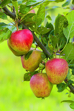 Cultivated Apple (Malus domestica) 'Adam's Pearmain', close-up of fruit, on tree in organic orchard, Powys, Wales, August  -  Richard Becker/ FLPA