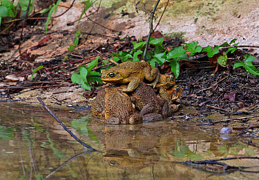 Cane Toad (Rhinella marina) introduced species, adult males, group attempting to mate with single female, mating ball in water tank, Marshall's Pen, Jamaica, December  -  Neil Bowman/ FLPA