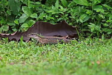 Four-lined Ameiva (Ameiva quadrilineata) adult, standing on damp grass, Chagres River, Panama, November  -  Neil Bowman/ FLPA