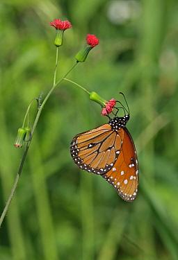 Queen Butterfly (Danaus gilippus jamaicensis) adult, feeding on flower, Black River, Jamaica, December  -  Neil Bowman/ FLPA