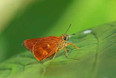 Schaus's Skipper (Pyrrhocalles jamaicensis) adult, resting on leaf, Linstead, Jamaica, December  -  Neil Bowman/ FLPA
