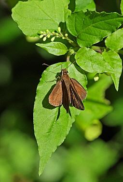 Malicious Skipper (Synapte malitiosa malitiosa) adult, basking on leaf, Linstead, Jamaica, December  -  Neil Bowman/ FLPA