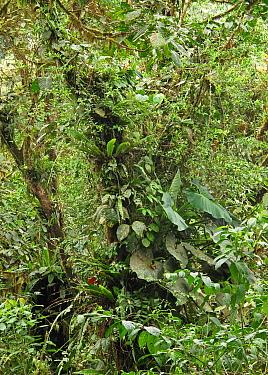Lush vegetation in tropical forest habitat, Canopy Lodge, El Valle, Panama, October  -  Neil Bowman/ FLPA