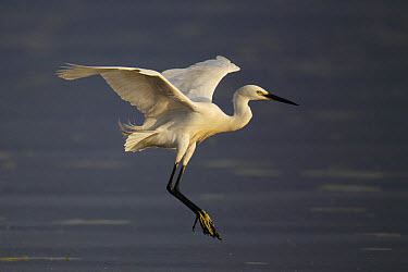 Little Egret (Egretta garzetta) adult, in flight, landing in wetland, Mai Po Marshes Reserve, New Territories, Hong Kong, China, May  -  John Holmes/ FLPA