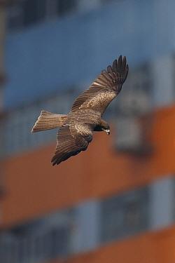 Black-eared Kite (Milvus migrans lineatus) adult, in flight, with buildings in background, Aberdeen Harbour, Hong Kong Island, Hong Kong, China, December  -  John Holmes/ FLPA