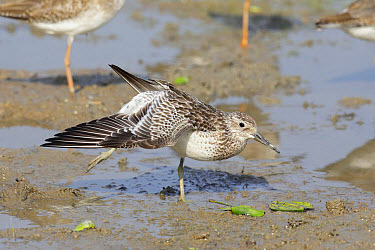Great Knot (Calidris tenuirostris) adult, non-breeding plumage, stretching wing and leg, standing on mud, Mai Po, New Territories, Hong Kong, China, September  -  John Holmes/ FLPA