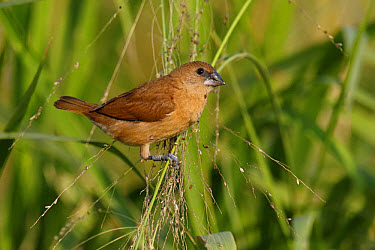 Scaly-breasted Munia (Lonchura punctulata) juvenile, with ring on leg, perched on grass stems, Mai Po, New Territories, Hong Kong, China, December  -  John Holmes/ FLPA