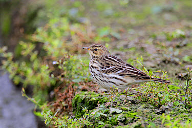 Red-throated Pipit (Anthus cervinus) adult, non-breeding plumage, standing in vegetable field, Long Valley, New Territories, Hong Kong, China, November  -  John Holmes/ FLPA