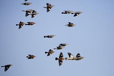 Red-billed Starling (Sturnus sericeus) flock, in flight, Mai Po Access Road, New Territories, Hong Kong, China, December  -  John Holmes/ FLPA
