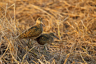 Greater Painted-snipe (Rostratula benghalensis) adult male and juvenile, standing together, Mai Po, New Territories, Hong Kong, China, October  -  John Holmes/ FLPA