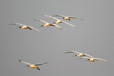 Black-faced Spoonbill (Platalea minor) flock, in flight, landing at night roost site, Mai Po Marshes Reserve, New Territories, Hong Kong, China, December  -  John Holmes/ FLPA