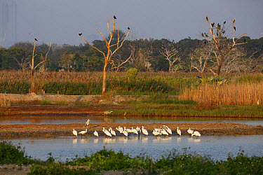 Black-faced Spoonbill (Platalea minor) flock, standing in shallow water at night roost site, Mai Po Marshes Reserve, New Territories, Hong Kong, China, December  -  John Holmes/ FLPA