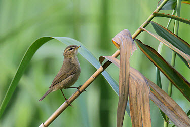Dusky Warbler (Phylloscopus fuscatus) adult, perched on reed stem in reedbed, Nam Sang Wai, New Territories, Hong Kong, China, October  -  John Holmes/ FLPA