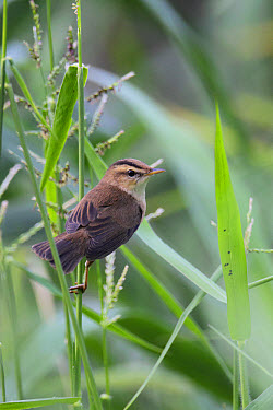 Black-browed Reed-warbler (Acrocephalus bistrigiceps) adult, perched in reedbed, Nam Sang Wai, New Territories, Hong Kong, China, October  -  John Holmes/ FLPA