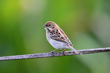 Pallas's Reed Bunting (Emberiza pallasi) adult male, non-breeding plumage, perched on wire, Long Valley, New Territories, Hong Kong, China, November  -  John Holmes/ FLPA