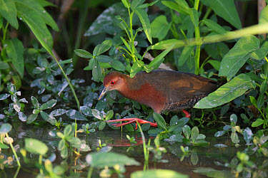 Ruddy-breasted Crake (Porzana fusca) adult, walking in wet vegetable field, Long Valley, New Territories, Hong Kong, China, November  -  John Holmes/ FLPA